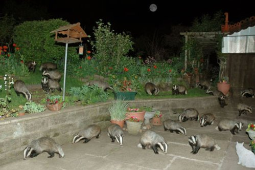picture of a backyard being invaded by badgers.