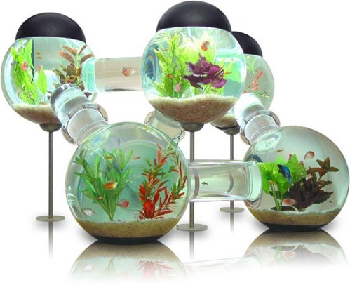 Cool labyrinth fish aquarium design duck duck gray duck for Cool fresh water fish