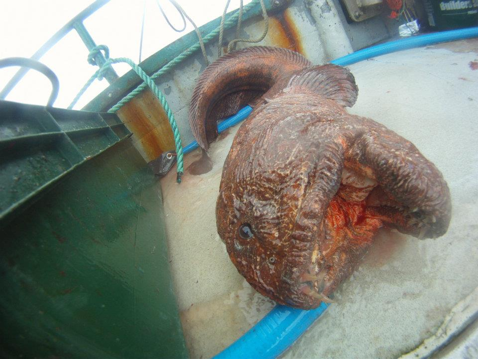 giant wolf eel caught from alaskan fishing boat duck
