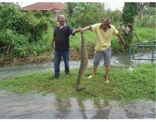 Big leech found in Malaysia after flood