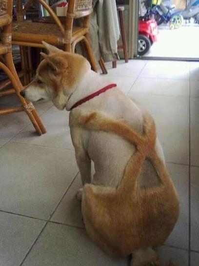 Shiba Inu suspenders