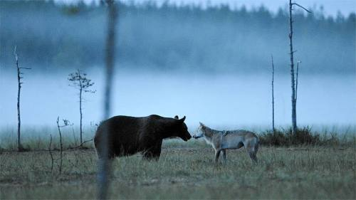 Bear and wolf meet on misty swamp
