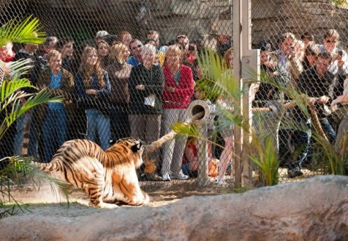 Want to play tug-of-war with a tiger?