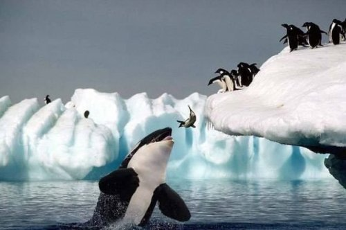 Penguin jumps into the mouth of an orca whale.
