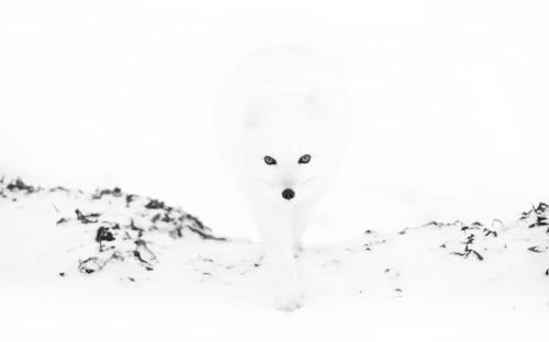 The arctic fox demonstrating concealment.