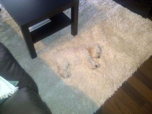 dog, poodle