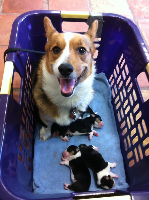 Corgi looks very proud of her new puppies.