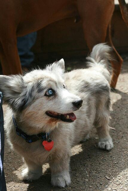 Corgi Husky mix | Duck Duck Gray Duck