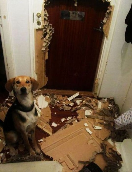 Dog destroys door