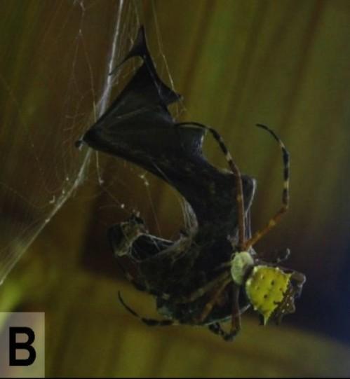 Photo: Nyffeler M, Knörnschild M (2013) Bat Predation by Spiders