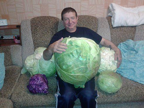 giant lettuce