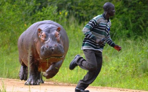 killed by hippo
