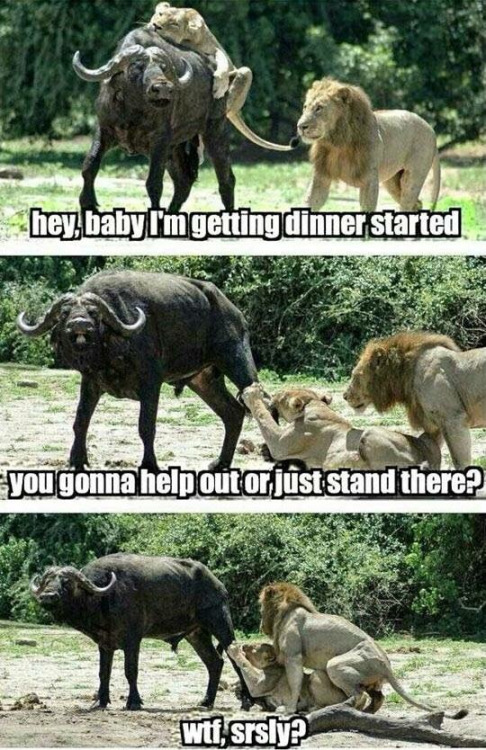 lions having sex