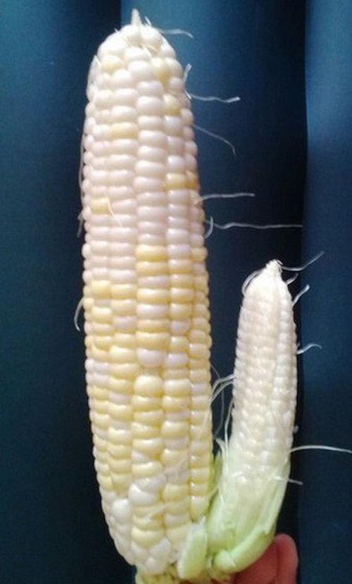 corn dildo